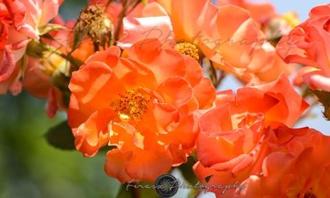 Roses1-hybrid tea rose