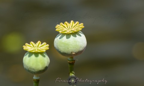 Kashmir Bouquet10-ball-like flower