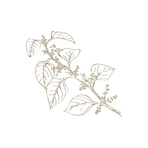 JAPONICA ROOT