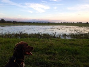 Dog looking over decoys on water