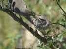 Mrs. Mocking Bird feeding Baby Mocking Bird. ©V.ROSE DEMET ™2014