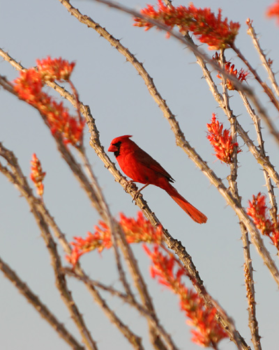 Male Northern Cardinal (Cardinalis cardinalis) on a red-flowered Ocotillo (Fouquieria splendens)