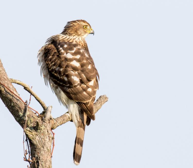 brian-doherty-coopers-hawk