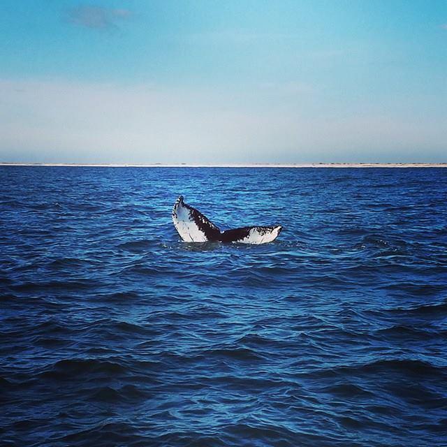 humpack-whale