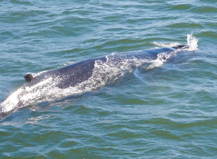 lisa-nadler-reischer-humpback-whale