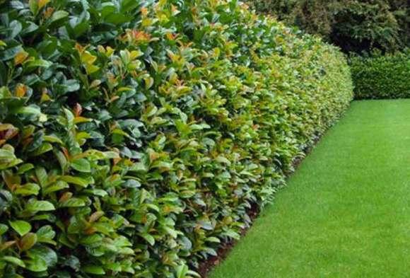Laurel hedge landscaping