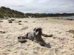 Bodie, one of the dogs living at Firhall Highland B&B chilling in the sunshine on Hopeman beach