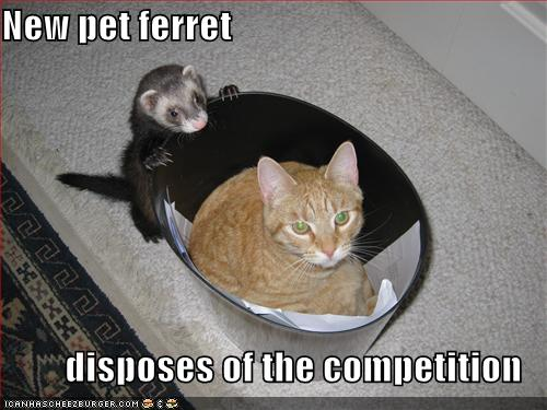 Funny-pictures-your-ferret-is-throwing-your-cat-away