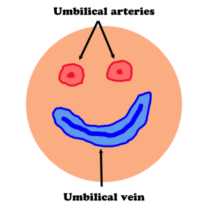 Umbilical vessels