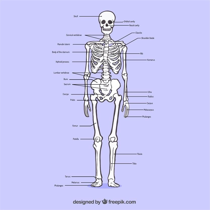 human skeleton details
