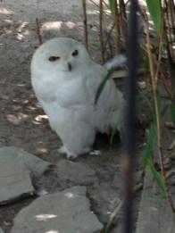 Snowy white owl - snow! ahhhhhhhhh!