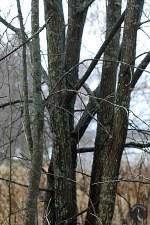Willow trunks