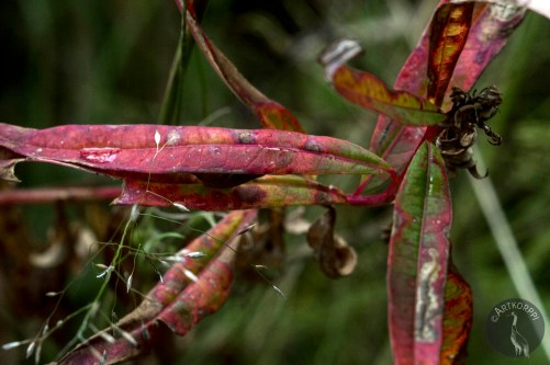 fireweed_leaves_0095