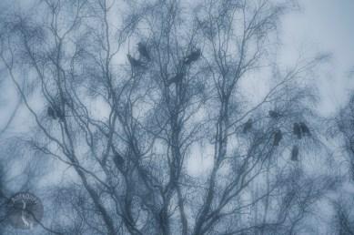 crows_0082muokp
