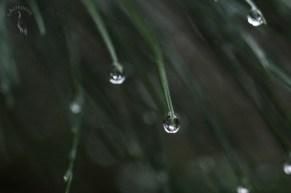 raindrops_in_pine0101p