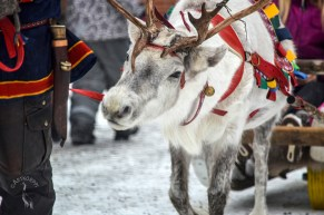 white_reindeer_0070p