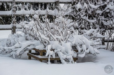 luminen_marjapensas_0235p
