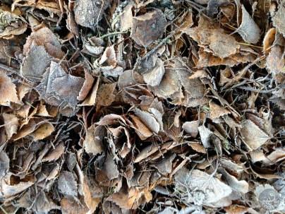enveloped_leaves_2695p