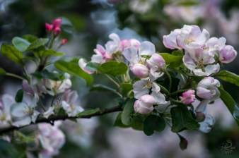 apple_0257p