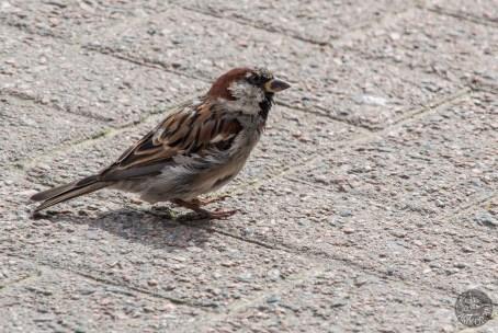 Sparrow male