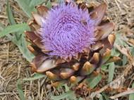 Another artichoke flower