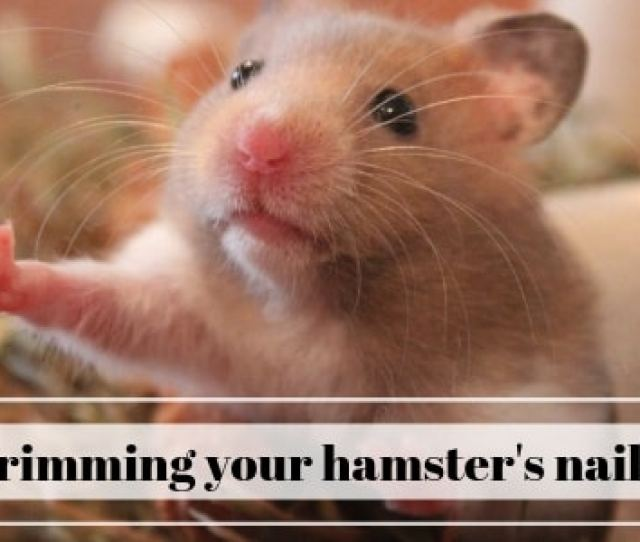 Why You Should Trim Your Hamsters Nails And How To Do It