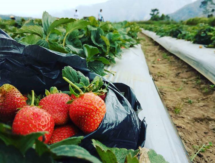 Kebun Strawberry di Sembalun, sumber ig nahwanhadi