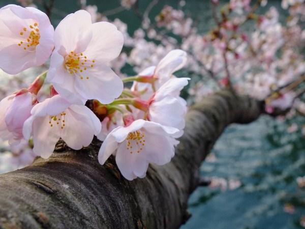 ちょっと向こう側を覗いてみようか。この桜、舞う季節のはじまりに。