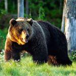 bear – maskwa