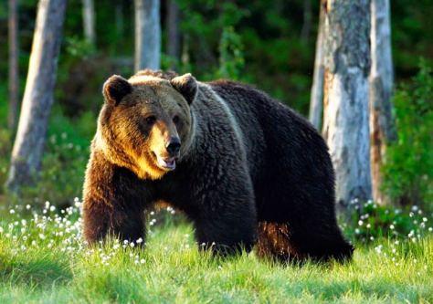 bear - maskwa