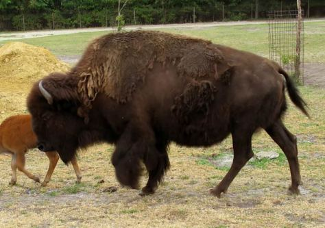 buffalo - paskwāwimostos