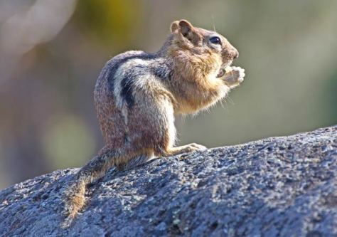 chipmunk - sāsākawāpiskos