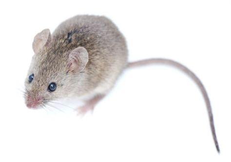 mouse - āpakosīs