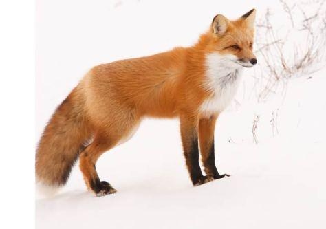 fox - mahkīsīs
