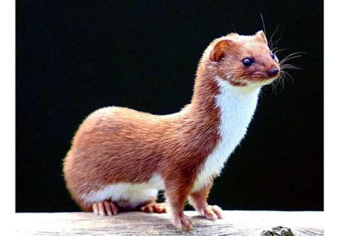 weasel - sihkos