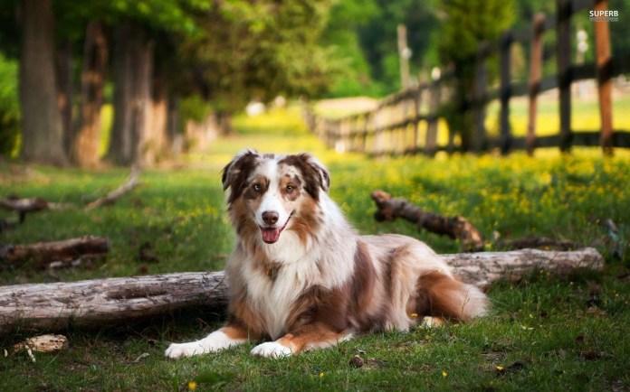 Australian Shepherd Dog - A herding dog