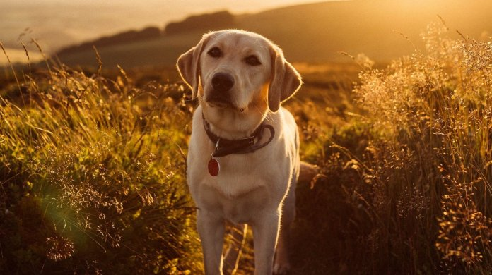 Labrador Retriever - a popular breed in the United State