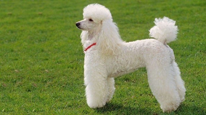 Poodle - easy to train dog breeds - top 10 impressive tricks
