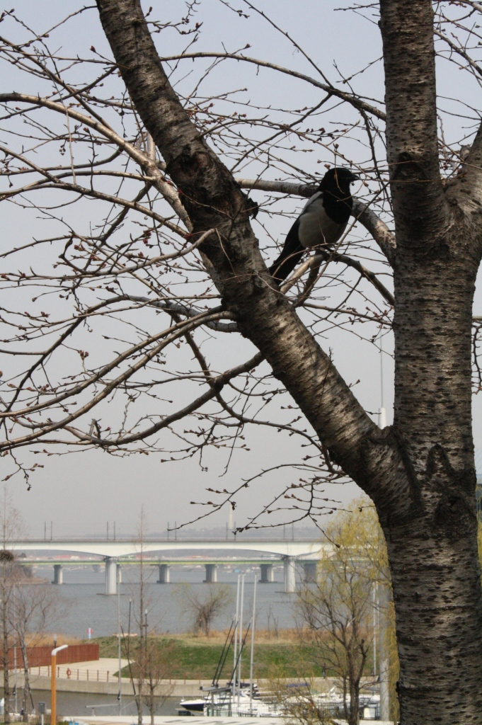 No leaves nor flowers in sight at the cherry trees. A bird takes refuge in its branches.