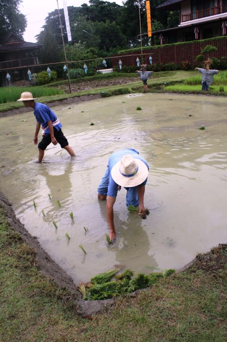 We were taught how to plant rice.