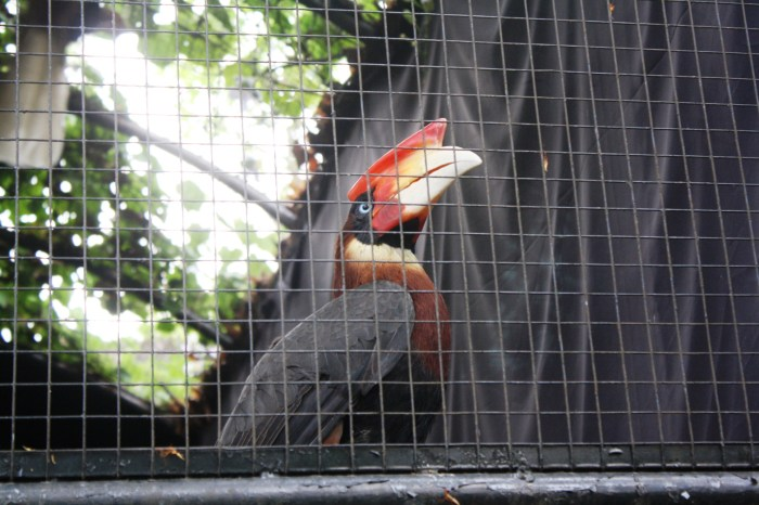 Rufous-headed Hornbill