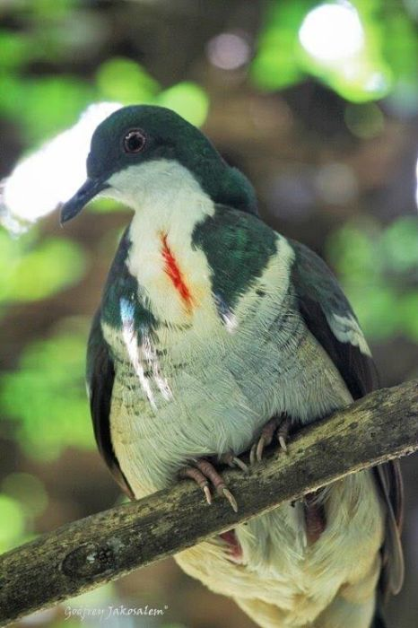 Negros bleeding-heart pigeon (Photo by Godfrey Jakosalem)