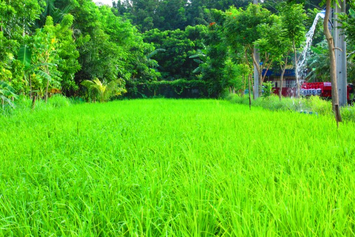 A small area where rice is shown how it is being organically cultivated.