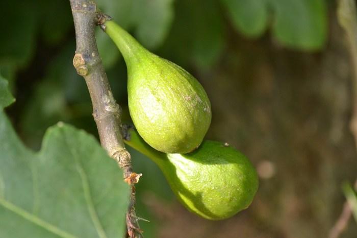fig tree photo