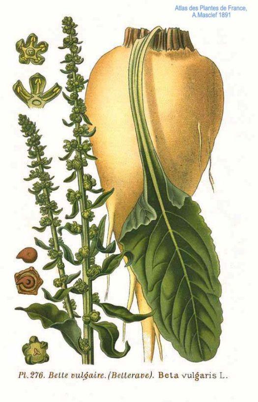 Sugar Beets and seeds