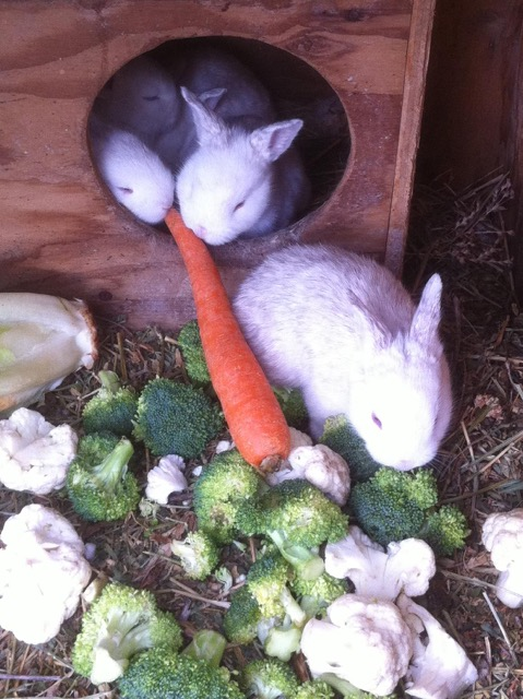 Rabbits enjoying fresh vegetables - Photo by Les Kutny