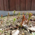 Fireweed shoots are poking out in Yukon yards!