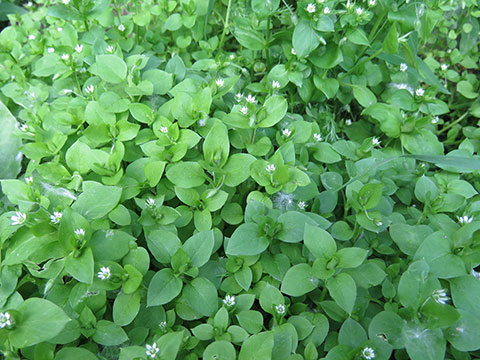 Check Out Some Chickweed