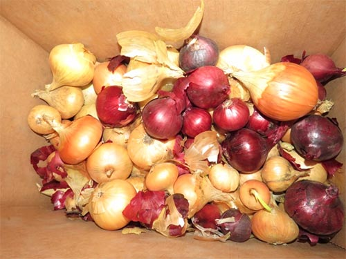 Home-Grown Dawson Onions Still Looking Good in May
