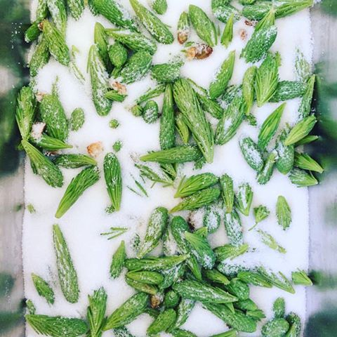 Spruce Tips ready to become a delicious syrup - Photo by The North Woods Cookshop